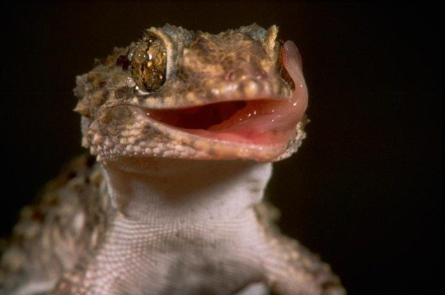 picture of Did you know Geckos don't blink their eyes?