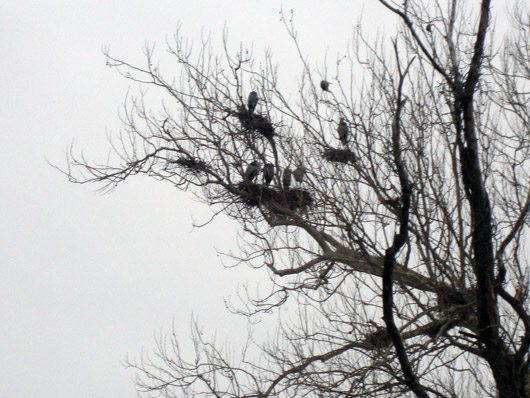 picture of Great Blue Herons at Cuyahoga Valley National Park