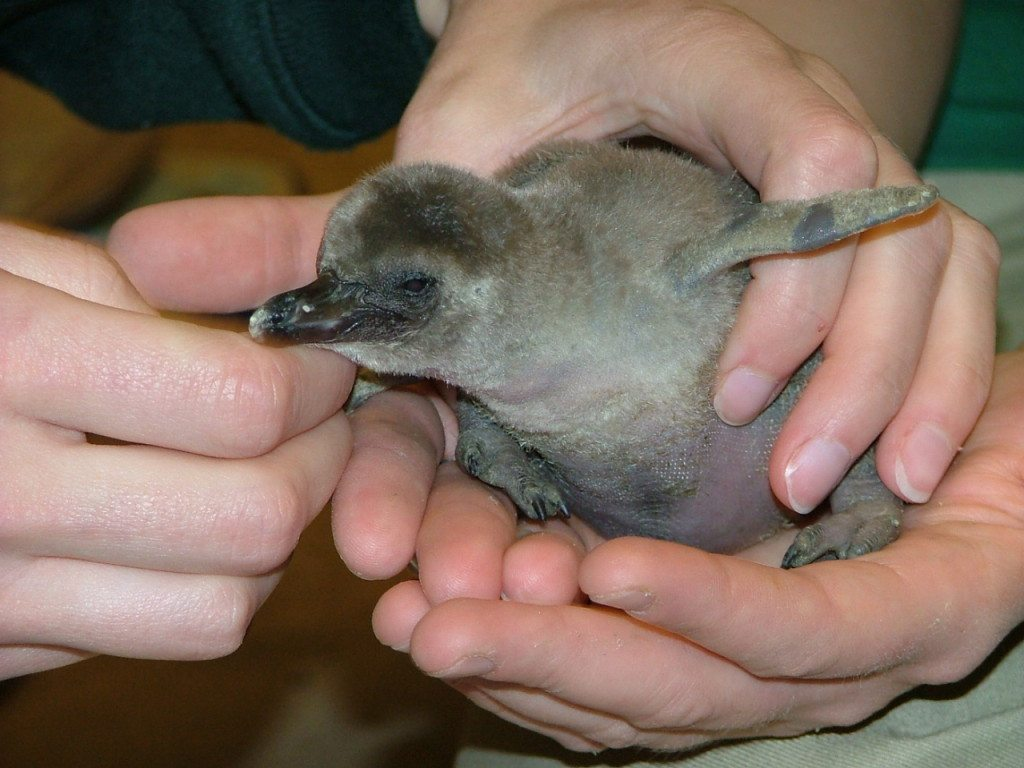 picture of Endangered Humboldt Penguin Chick at Akron Zoo