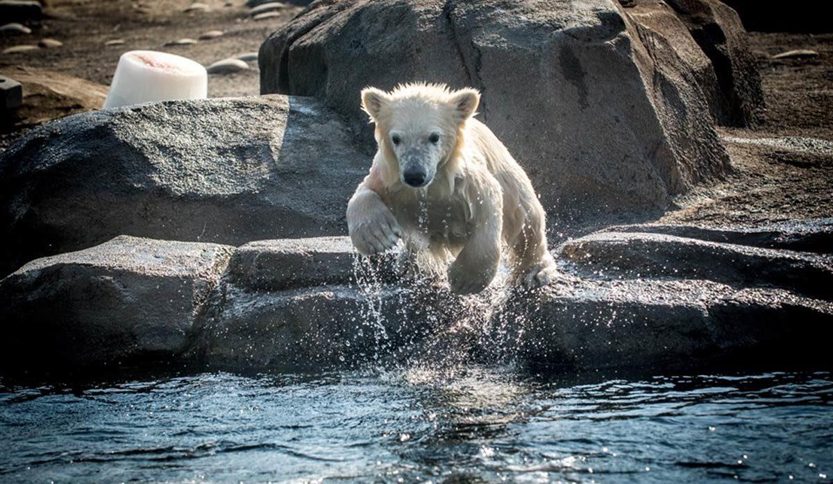 columbus-zoo polar bear cubs