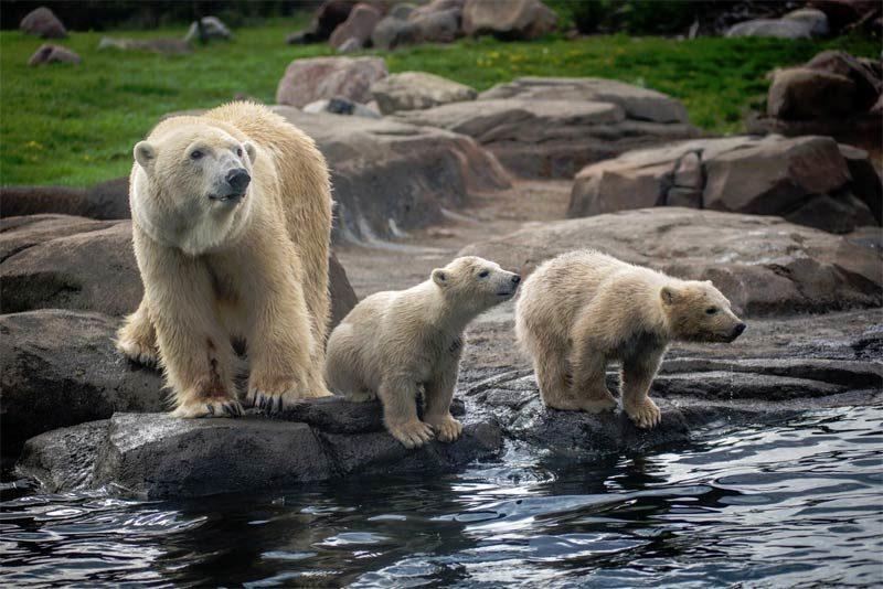 polar-bear-cubs